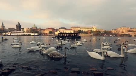 europa : Swans on the Vltava River, Swans in Prague, panoramic view, wide angle, view of the old town and Charles Bridge across the Vltava River in Prague