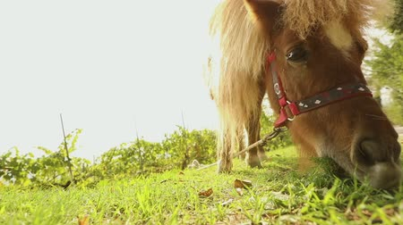 konie : Brown pony is eating grass in the back of the camera, pony is eating grass, close-up Wideo