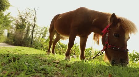 пони : Brown pony is eating grass in the back of the camera, pony is eating grass