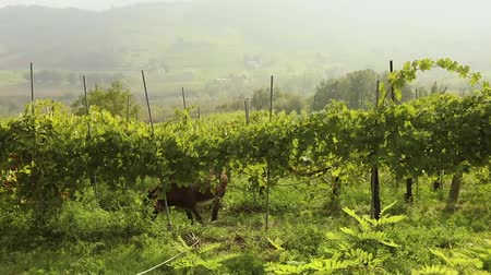 shetland : Beautiful panoramic view of the Italian valley with vineyards, a pony eats grapes. panorama Stock Footage