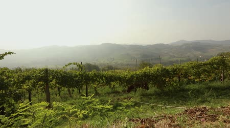 pastar : Beautiful panoramic view of the Italian valley with vineyards, a pony eats grapes
