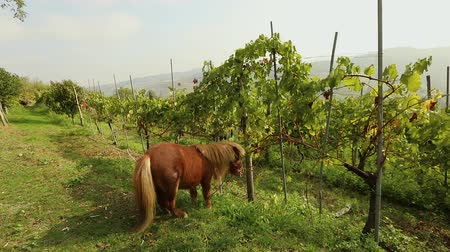 shetland : Beautiful brown pony eats grapes, Pony eats grapes on a vineyard in italy, close-up