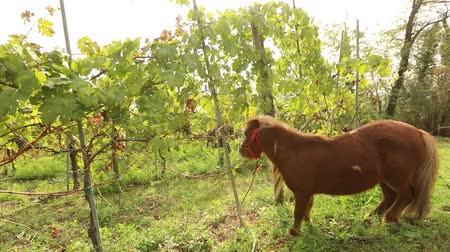 shetland : Beautiful brown pony eats grapes, Pony eats grapes on a vineyard in italy