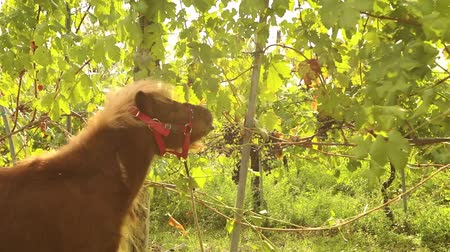stallion : Beautiful brown pony eats grapes, Pony eats grapes on a vineyard in italy, close-up