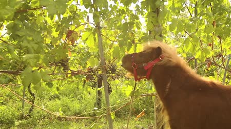 winogrona : Beautiful brown pony eats grapes, Pony eats grapes on a vineyard in italy, close-up