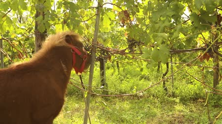 пони : Beautiful brown pony eats grapes, Pony eats grapes on a vineyard in italy, close-up