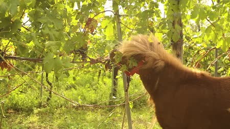 shetland : Beautiful brown horse eats grapes, Pony eats grapes on a vineyard in italy, close-up
