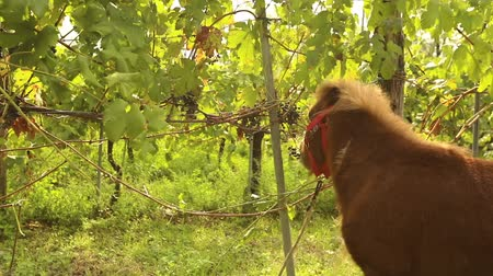 stallion : Beautiful brown horse eats grapes, Pony eats grapes on a vineyard in italy, close-up