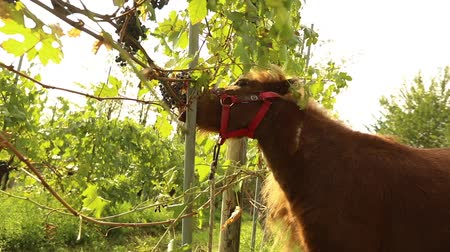 pastar : Beautiful brown horse eats grapes, Pony eats grapes on a vineyard in italy, close-up