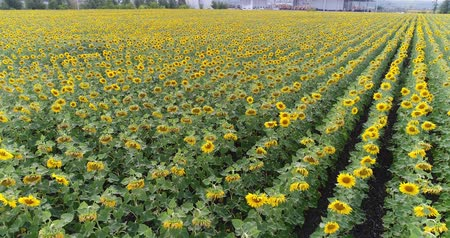 sunflower seed : Sunflower on the field, Aerial view, Along the rows, flight, view from above, a lot of plants, movement