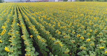 nasiona : Sunflower on the field, Aerial view, Along the rows, flight, view from above, a lot of plants, movement