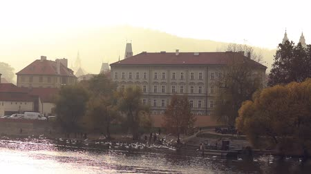 çek cumhuriyeti : Bevy of white swans on Vltava river banks in capital of Czechia Stok Video