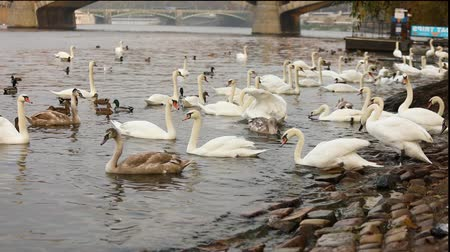 Богемия : Swans on the Vltava River, Swans in Prague, panoramic view, wide angle, view of the old town and Charles Bridge across the Vltava River in Prague
