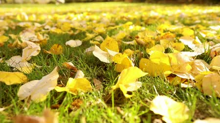 ground : Bright yellow leaves on green grass in autumn. City park. Fall leaves on the green grass under sunbeams, close-up