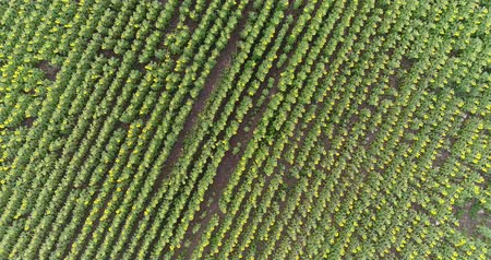 sunflower seed : Sunflower on the field, Aerial view, sunflower field in summer, Along the rows, flight, 4K video, view from above, motion, a lot of plants, rise, lifting, height, descent, movement Stock Footage
