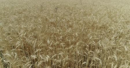 grain bread : Yellow ears wheat sway in the wind, the background field of ripe ears of wheat, Harvest, Wheat growing on field, Aerial view, View from above, air, 4k, video Stock Footage
