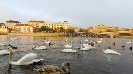çek cumhuriyeti : Swans on the Vltava River, Swans in Prague, panoramic view, wide angle, view of the old town and Charles Bridge across the Vltava River in Prague
