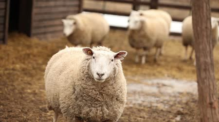 ewe : Sheep looks at camera, close-up, sheep on the farm Stock Footage
