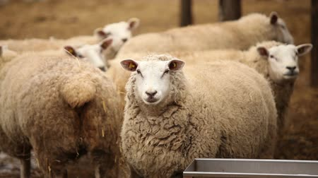 kafes : Sheep looks at camera, Farm Exterior, close-up, sheep on the farm Stok Video