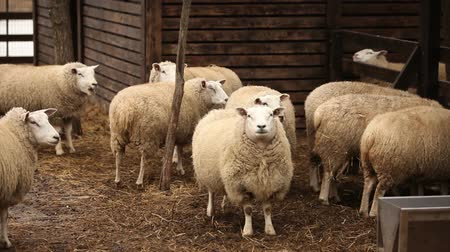 koyun : Sheep looks at camera, Farm Exterior, close-up, sheep on the farm Stok Video