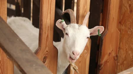 cow milk : The Goat on the farm looks at the camera, shot close-up. Goat has a presentable, clean look. Frames are beautiful for your reportage video or video about animals and farm