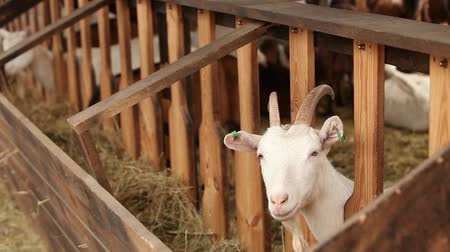 седые волосы : The Goat on the farm looks at the camera, shot close-up. Goat has a presentable, clean look. Frames are beautiful for your reportage video or video about animals and farm