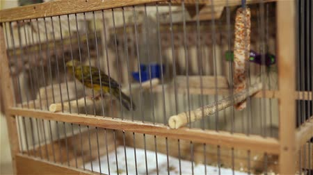 vanity : Canary bird in a cage with jumping from perch