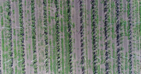 apple orchard : A view of the seedlings of trees from the air, flying over tree seedlings, a garden center, a young apple garden on the field, Rows of tree saplings in the Young apple garden, 4k, aerial