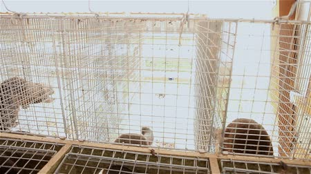 gaiola : The mink in the cage, close-up, mink on the farm, Farm interior Stock Footage