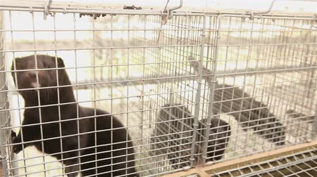 suíças : The mink in the cage, close-up, Otter on the farm