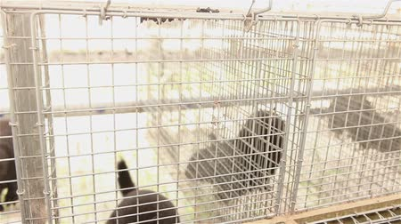 captivity : The mink in the cage, close-up, Otter on the farm