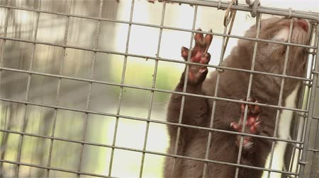 łożysko : Gray mink looking out of its cage, gray mink in a metal cage, close-up Wideo
