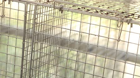 cativeiro : gray mink looking out of its cage, gray mink in a metal cage, close-up