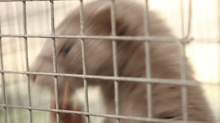 grating : Gray mink looking out of its cage, gray mink in a metal cage, close-up Stock Footage