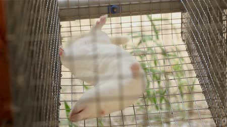 greenpeace : White mink looking out of its cage, White mink in a metal cage, close-up