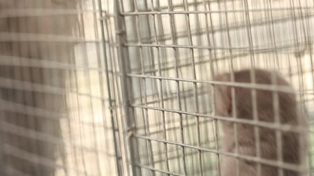 hamu : Gray mink looking out of its cage, gray mink in a metal cage, close-up Stock mozgókép
