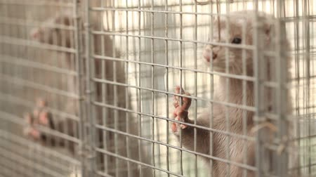 kafes : Gray mink looking out of its cage, gray mink in a metal cage, close-up Stok Video