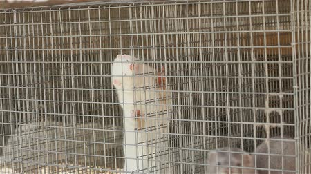 captive : White mink looking out of its cage, White mink in a metal cage, close-up