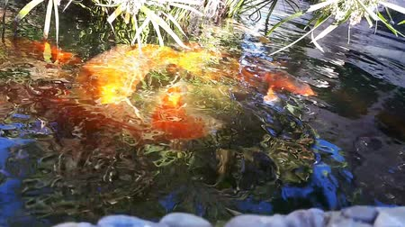 brocaded : Japanese carp in water, Japanese KOI Carp floats in a decorative pond. Fancy Carp or Koi Fish are red,orange, white. Decorative bright fish floats in a pond