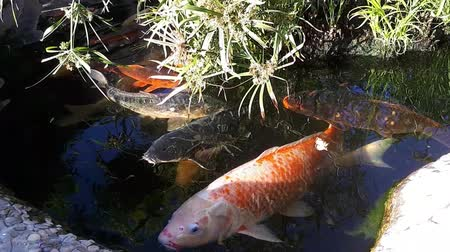 brocaded : Japanese carp in the pond, larger fish in the pond, ornamental pond. Decorative bright fish floats in a pond