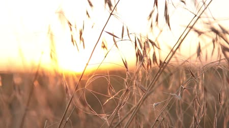 goes : Sunrise through the blades of grass, the movement of the camera along the grass