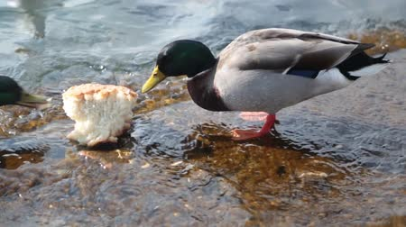 duck : The duck eats his bread in the lake