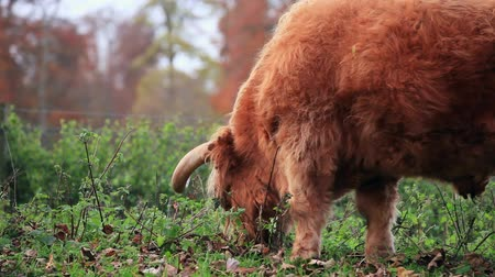 Highland cow close up eating glass