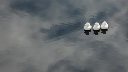 Three white ducks floating on a pool of water with wind ripples and white cloud reflections going past. Calm, relaxing and meditative scene