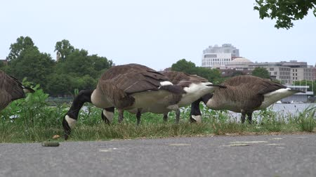 közepes : Multiple geese eating grass next to a foot path on the Esplanade in Boston, Massachusetts