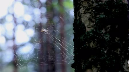 cross spider : spider-web