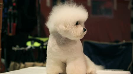 oturur : little white Bichon Frise sits and stares into the camera Stok Video