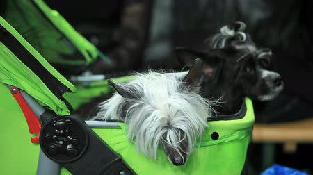 pair of small shaggy dog sitting in a baby carriage Stock mozgókép