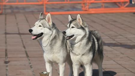 pair of Siberian huskies, close-up
