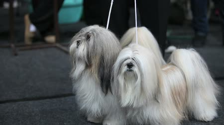 Two fluffy shaggy lap dog on a leash   a close-up
